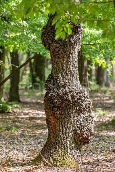 Chêne vieux arbre nature été vert Photo stock © digoarpi
