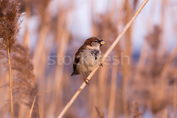 Young male sparrow (Passer domesticus) in reed Stock photo © digoarpi