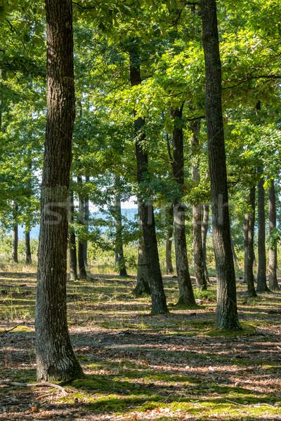 Yeşil meşe orman güzel güneş ışığı bahar Stok fotoğraf © digoarpi