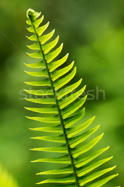 Fern leaf Stock photo © digoarpi