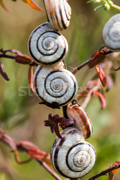 Viele wenig Natur Shell weiß Tier Stock foto © digoarpi
