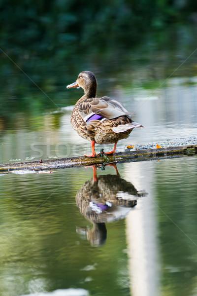 Wild duck Stock photo © digoarpi