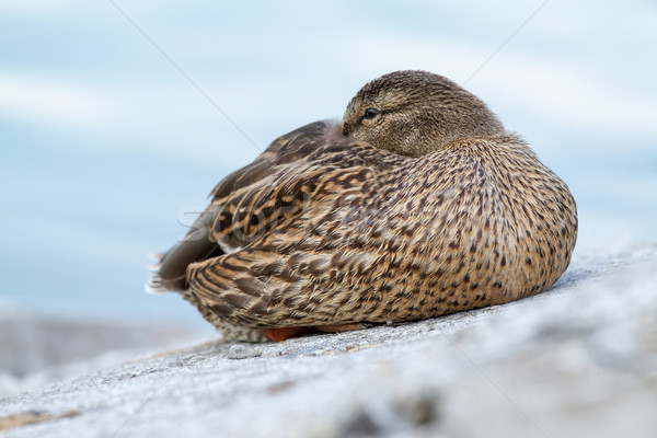 Wild duck Stock photo © digoarpi