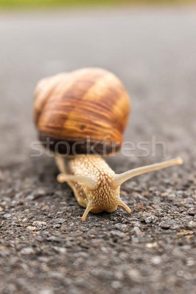 Burgundy snail  Stock photo © digoarpi