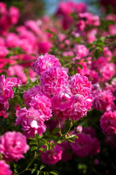 Rózsaszín virágzó rózsa bokor közelkép virágok Stock fotó © digoarpi