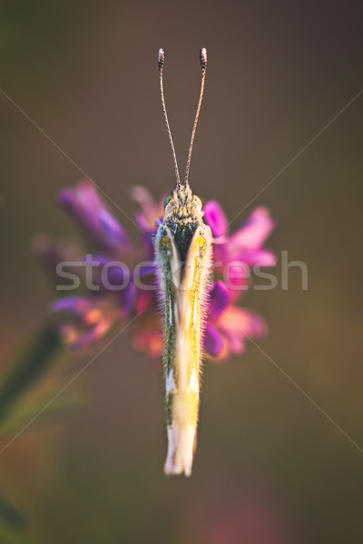 Butterfly Marbled White (Melanargia galathea) on the flower Stock photo © digoarpi