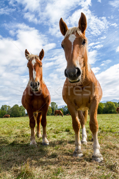 Horses Stock photo © digoarpi