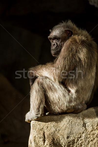 Csimpánz öreg állatkert Barcelona fa majom Stock fotó © digoarpi
