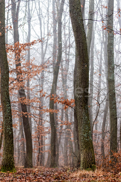 Forest at the autumntime  Stock photo © digoarpi