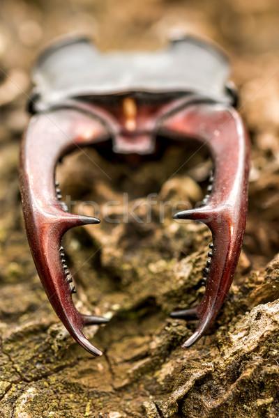Stag beetle ( Lucanus cervus) horn Stock photo © digoarpi