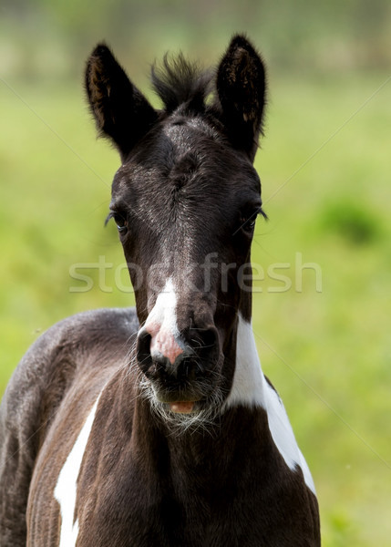 Young foal  Stock photo © digoarpi