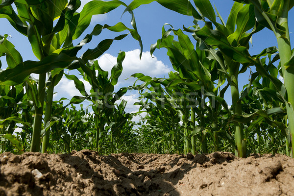 Maize field in spring Stock photo © digoarpi