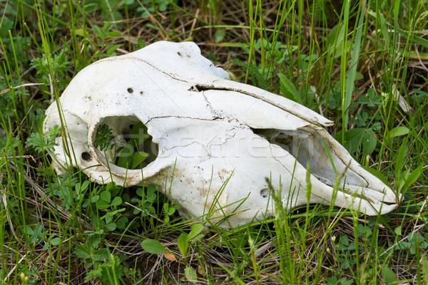 Red deer skull Stock photo © digoarpi
