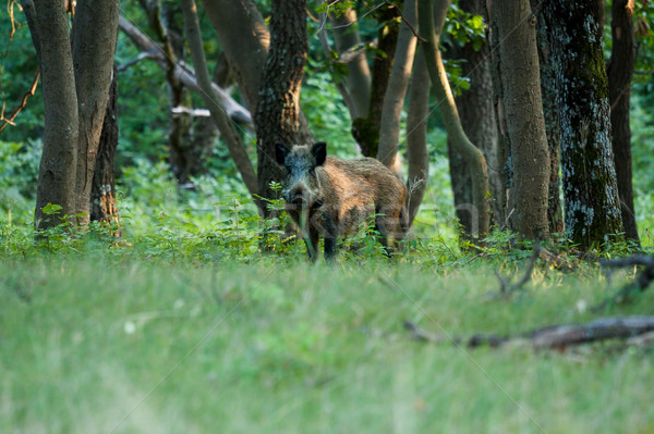 Stock fotó: Vad · vaddisznó · erdő · tavasz · fa · tavasz