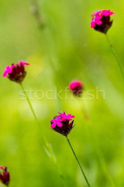 Dziki kwiat różowy wiosną charakter piękna Zdjęcia stock © digoarpi