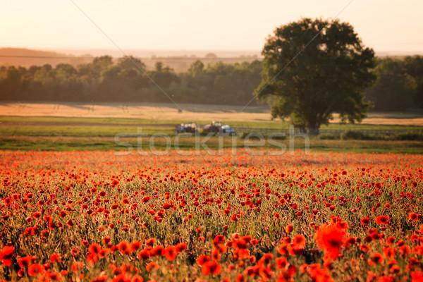 Stock photo: Poppy field