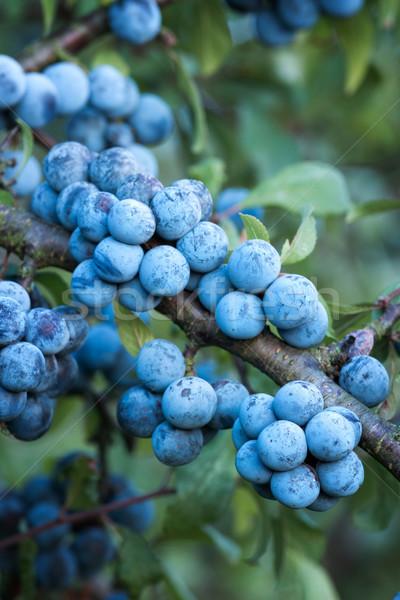 Bokor sok gyümölcsök fa gyümölcs zöld Stock fotó © digoarpi