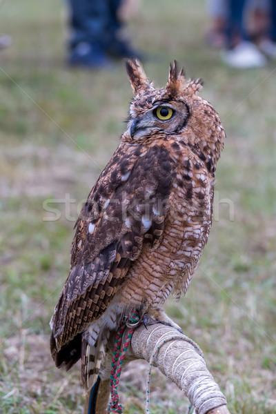 Closeup of Long-eared owl Stock photo © digoarpi
