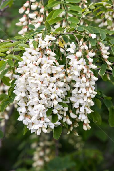 Acacia flowers  Stock photo © digoarpi
