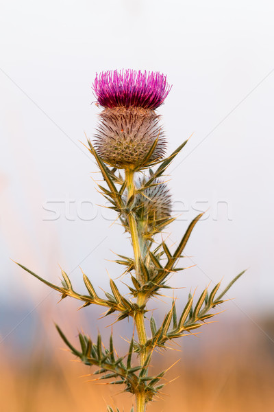 Purple thistle in green meadow Stock photo © digoarpi