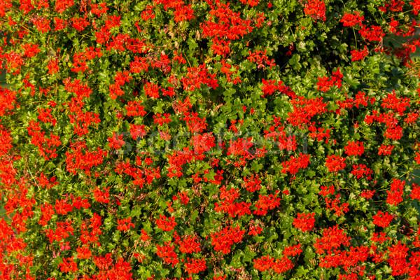 Vermelho jardim flores flor primavera natureza Foto stock © digoarpi