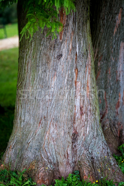 Detail of trunk tree Bald Cypress (Taxodium distichum), Nature b Stock photo © digoarpi
