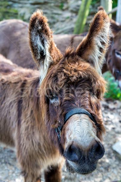 Farm Donkey portrait Stock photo © digoarpi