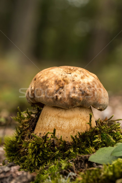 Porcini fungi  Stock photo © digoarpi