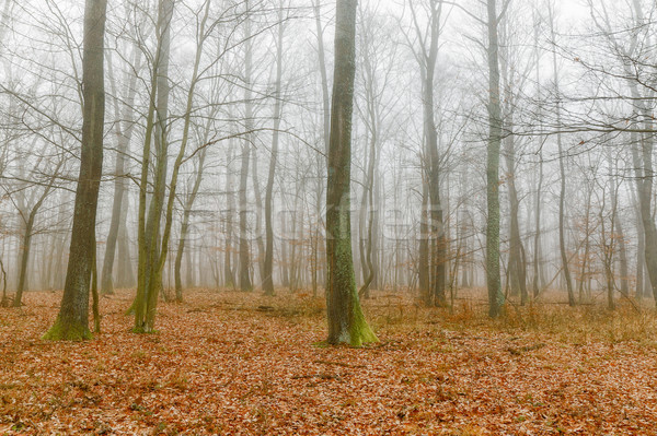 Mystic foggy day in the oak forest Stock photo © digoarpi