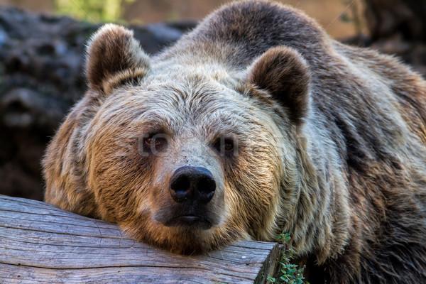 クマ ヒグマ 動物園 スペース 睡眠 頭 ストックフォト © digoarpi