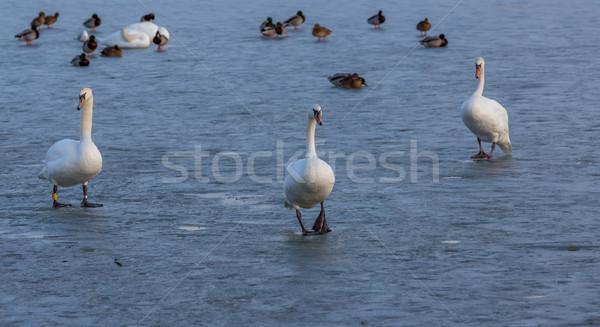 одиноко льда озеро Балатон Венгрия зима Сток-фото © digoarpi