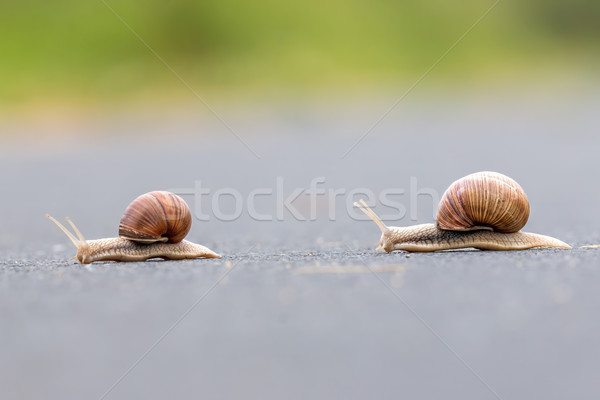 Burgundy snail (Helix pomatia) Stock photo © digoarpi