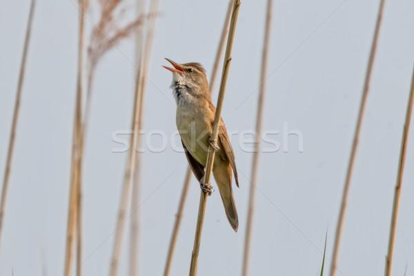 Great Reed Warbler (Acrocephalus arundinaceus) Stock photo © digoarpi