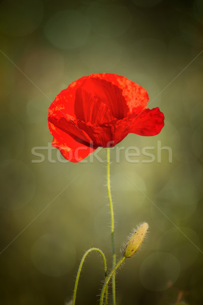 Haşhaş çiçek kırmızı doğa yeşil Stok fotoğraf © digoarpi