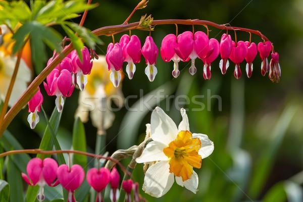 Coração flores jardim natureza folha Foto stock © digoarpi