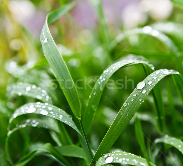 Water droplets on blades of grass Stock photo © Dinga
