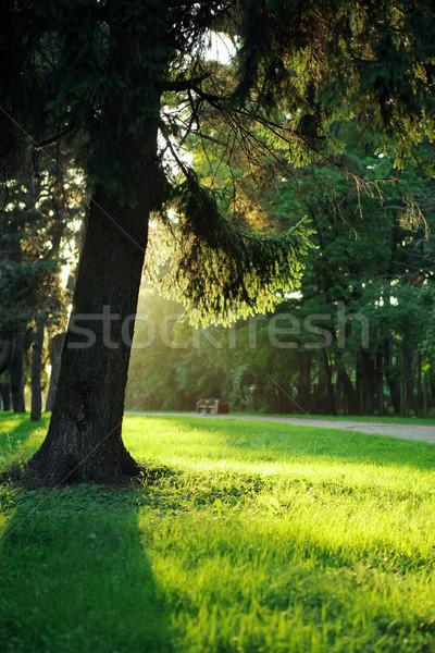 дерево вечер солнечный свет парка трава дороги Сток-фото © Dinga