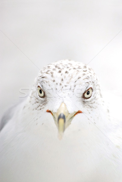 Seagull Stock photo © Dinga