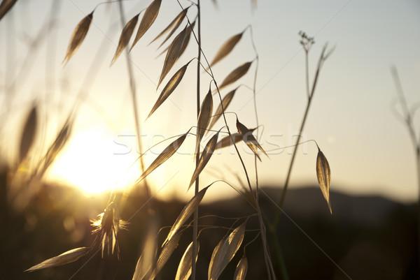 Haver zonsondergang drogen heuvel zon natuur Stockfoto © dinozzaver