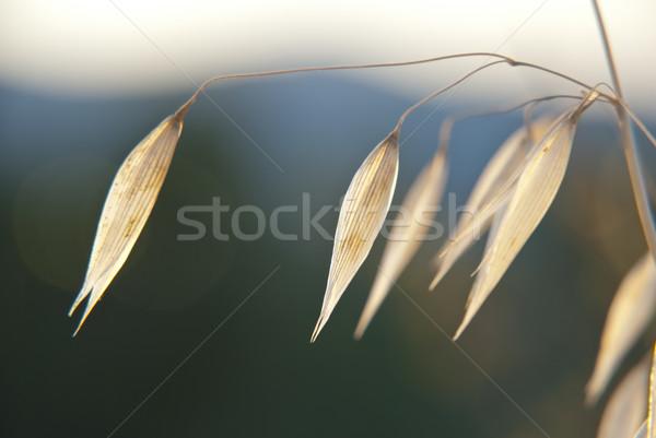 燕麦 工場 緑 食品 草 ストックフォト © dinozzaver