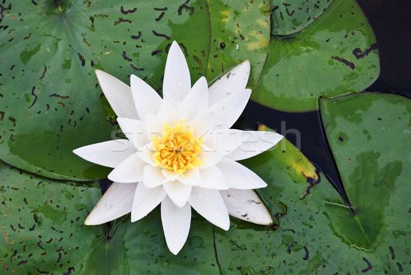 Giglio fioritura fiori bellezza estate Foto d'archivio © dinozzaver
