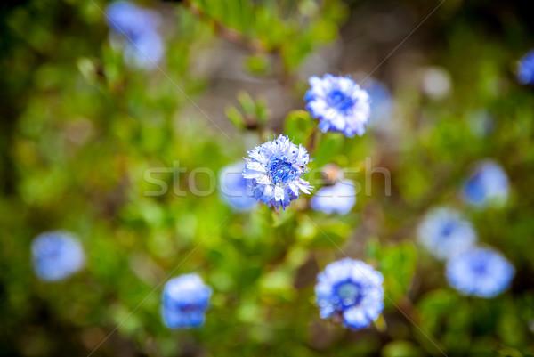 Blue flowers blossoming close up Stock photo © dinozzaver