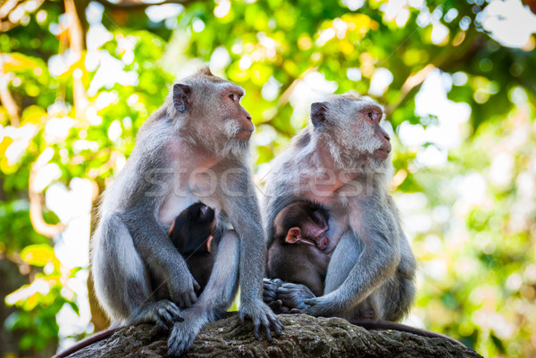 Long-tailed macaque monkies breastfeeding their babies Stock photo © dinozzaver