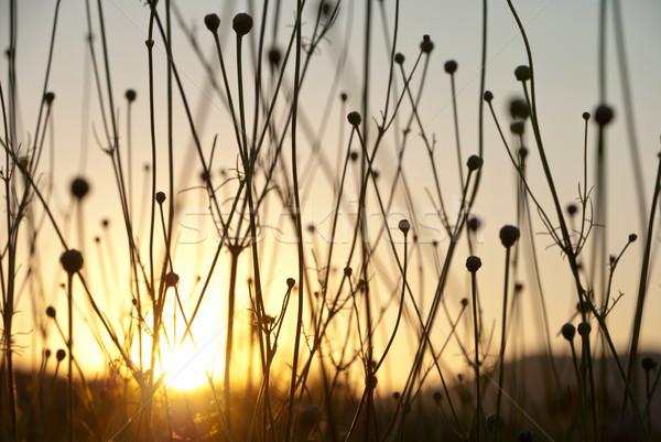 Wyschnięcia trawy sylwetki wygaśnięcia świcie Zdjęcia stock © dinozzaver