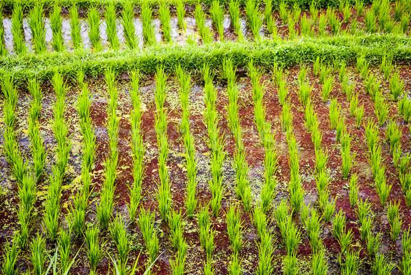 Young fresh rice growing Stock photo © dinozzaver
