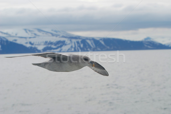 Northern fulmar (fulmar glacialis) bird gliding over the arctic  Stock photo © dinozzaver