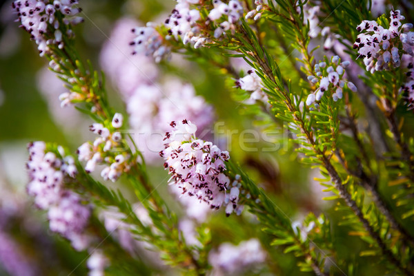 Light pink heath plant blossoming close up Stock photo © dinozzaver