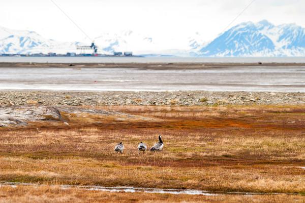 птиц Арктика Норвегия лет воды трава Сток-фото © dinozzaver