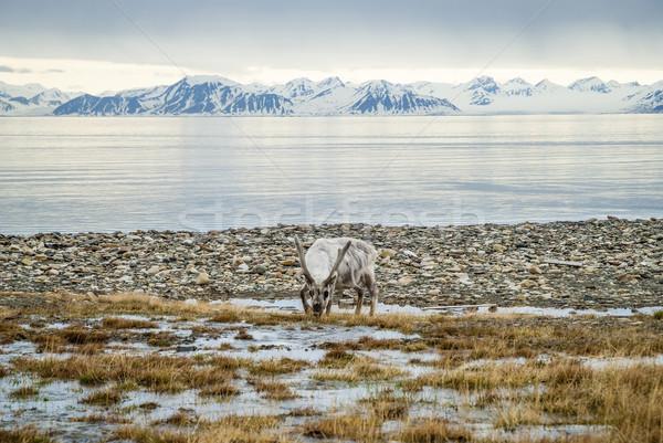 Rénszarvas sarkköri nyár eszik fű tenger Stock fotó © dinozzaver