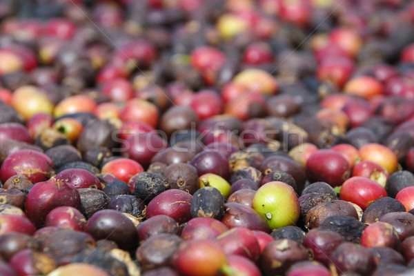 Fresh coffee grains Stock photo © dinozzaver